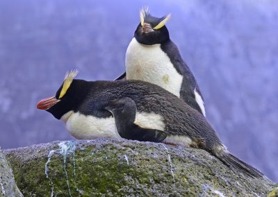 Erect-crested Penguins